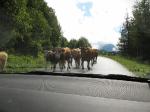 Shánění krav