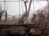 Sibiřský tygr