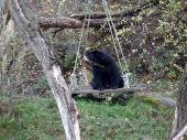 Medvěd brýlatý na houpačce