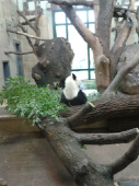 Velká panda