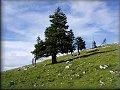Horské borovice