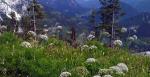 Horské kytky