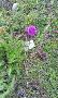 Alpská květena